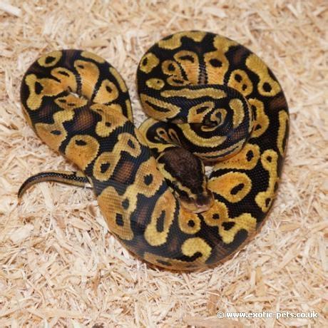 python heat l at pastel royal python royal python or python