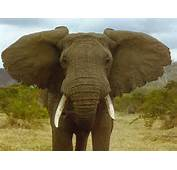 Earths Largest Land Animal Elephant Pictures A Male African