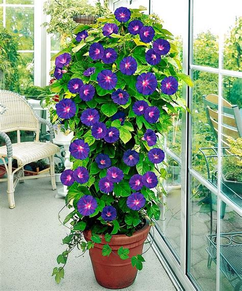climbing plants sun 24 best vines for containers climbing plants for pots