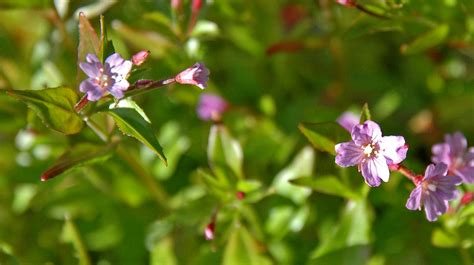 plants blooming epilobium hornemanii barents flora