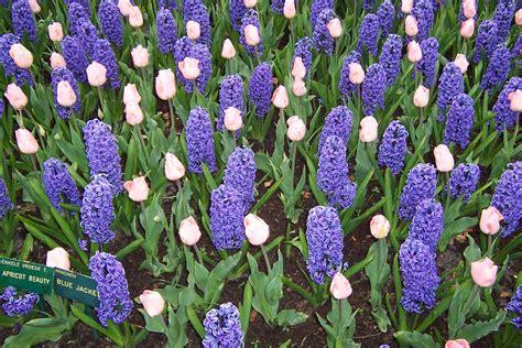 fiori olanda fiori in olanda immagine gratis domain pictures