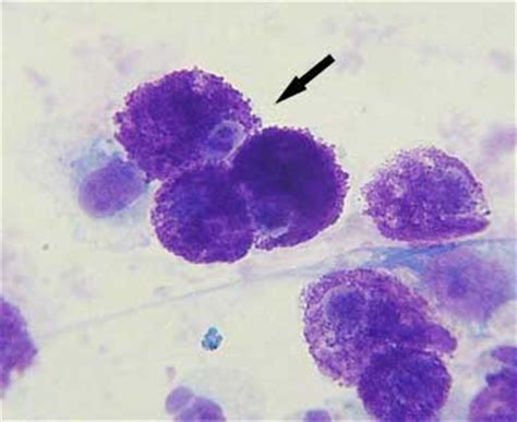 mast cells in dogs malignant cancer of the skin and other organs in dogs and cats animal