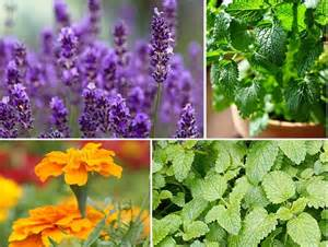 6 plants that repel biting insects mosquitoes gnats