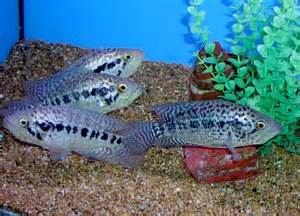 Jaguar Cichlid Size 301 Moved Permanently