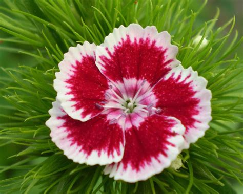 imagenes de un flores galer 237 a de im 225 genes claveles