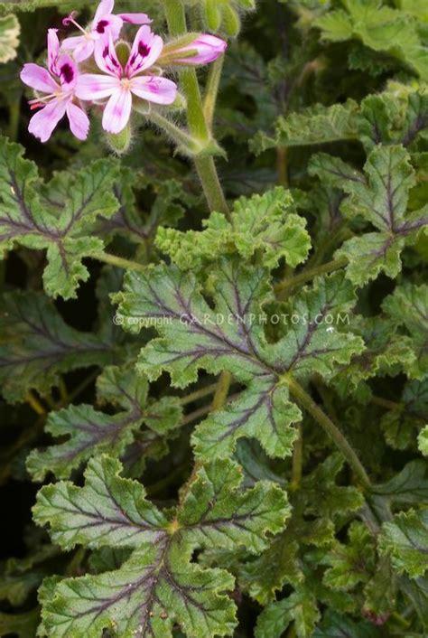 best scented geranium best 25 scented geranium ideas on geranium flower geranium plant and drawer