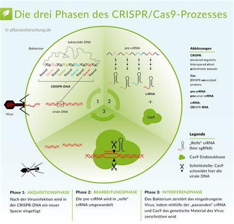 crispr cas pflanzenforschung de wie crispr cas funktioniert eine