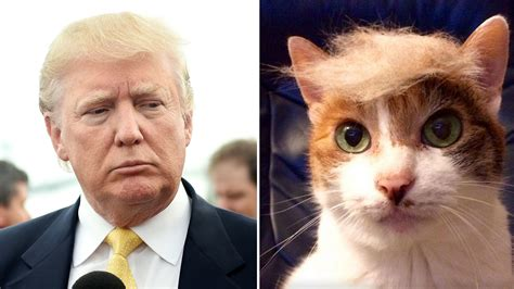 trump s face found in a dog s ear cnn video trumpyourcat reveals cats with donald trump hair today com