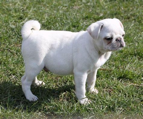 baby white pugs best 25 white pug ideas on pugs pug puppies and pugs
