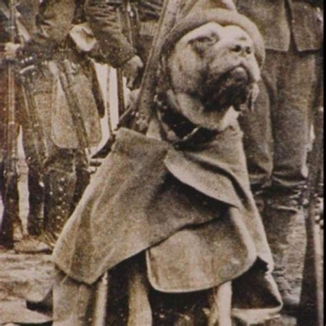 Sergeant Stubby German Pit Bull World War And Adorable Guys On