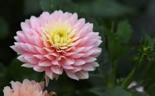 Chrysanthemum by Chrysanthemum Chrysanthemum Morifolium Doi Ang Khang