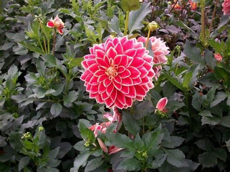 Shades Of Pink by Autumn Garden With Dahlia Flowering Plants Stunning