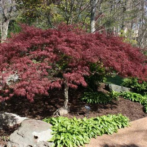 cutleaf japanese maple trees plant material pinterest