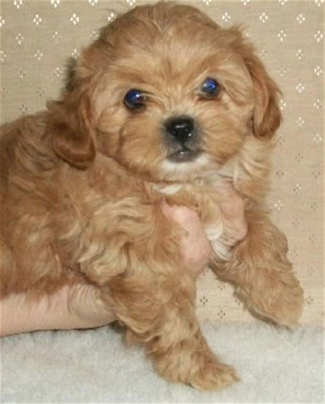 shipoo puppies shih poo puppies for sale