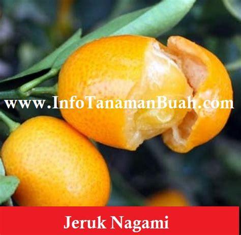 Bibit Jeruk Nagami bibit jeruk nagami info tanaman buah