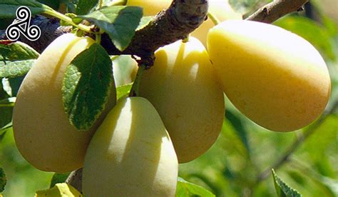 sanacore testo sicilia in cucina materie prime frutta susine