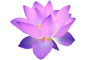 Can You Buy Lotus Flowers Lotus Flower Clipart Best