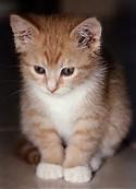 Gambar Binatang Kucing