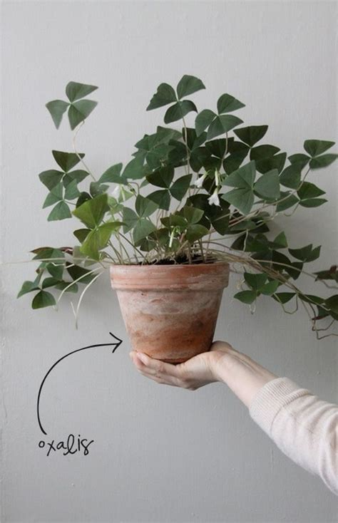 easy to take care of indoor plants oxalis other house plants that are easy to care for