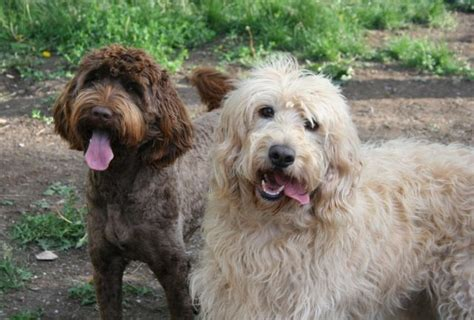 mini doodle ontario doodlelane home raised goldendoodle and labradoodle