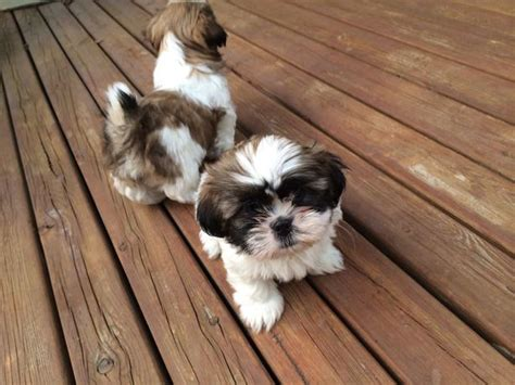 shih tzu purebred for sale adorable purebred shih tzu pups for sale outside saskatchewan saskatoon