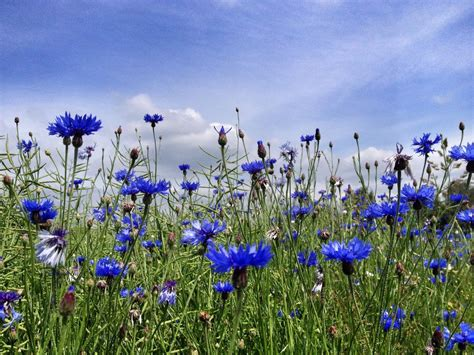 Blue Flowers For Garden 12 Beautiful Blue Flowering Plants For The Garden