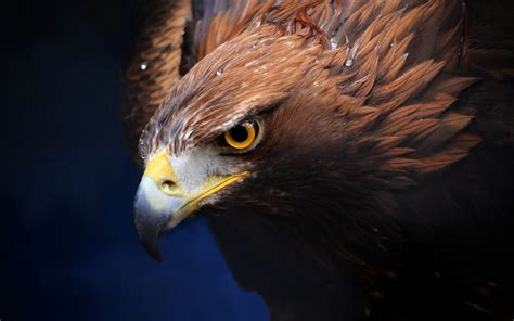 wallpaper for iphone 5 eagle golden eagle wallpaper download hd golden eagle