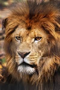 Lion Photography Wild Animals