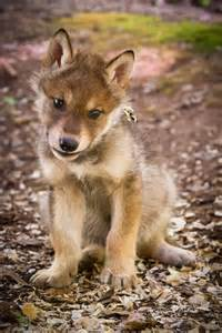 <strong>Wolf</strong>-Puppies-20140518-731.jpg