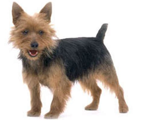 what is the best yorkie terrier shoo out there and condistioner australische terri 235 r