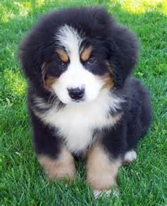 Mountain dog breeders bernese mountain dog info temperament puppies