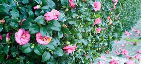 Awesome Gardening Club #5: Camellia-Japonica.jpg
