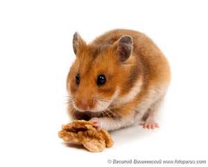 Photos domestic animals 3 2 rodents goldhamster 2010 0218mesocricetus