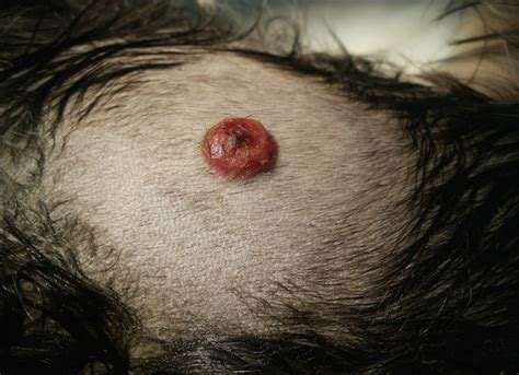 fatty tumor on getting bigger fatty tumors on dogs getting bigger rupturing causes and treatment dogs cats pets