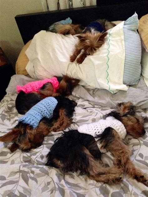 yorkie sleeping can u count 5 lil yorkies sleeping place for a yorkie pinte