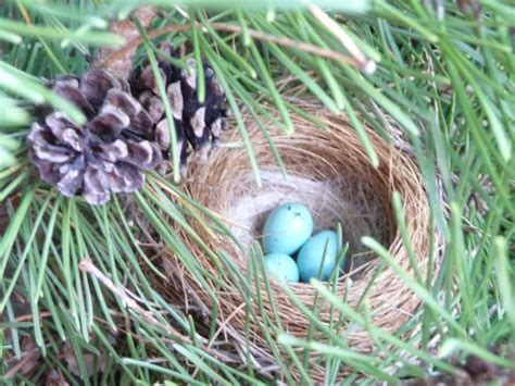 house finch eggs color purple finch nest blue eggs golf clubs pinterest