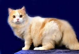 Harga Kucing Ras Persia Anggora ~ info kucing persia anggora dan ...