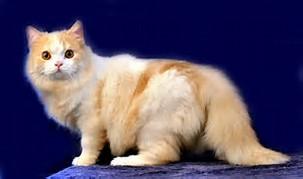 Kucing Ras Persia Anggora ~ info kucing persia anggora dan gambar foto ...