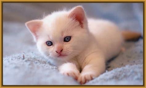 imagenes de gatitos blancas tiernas fotos tiernas de gatitos m 225 s bonitas gatitos tiernos