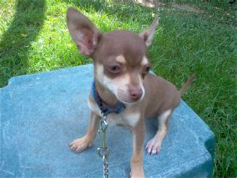 chihuahua puppies for sale in tn chihuahua puppies in tennessee
