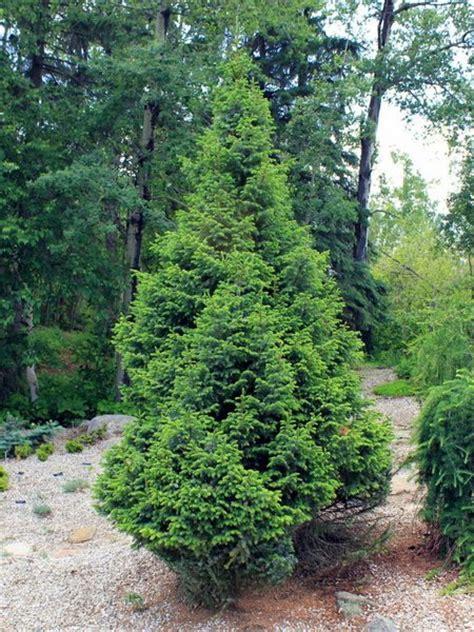 serbian spruce tree serbian spruce for sale treetime ca