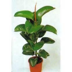 Wholesale Tropical Plants - ficus elastica decora seeds ficus elastica seeds rubber tree seeds caoutchouc tree seeds