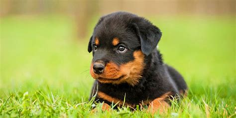 rottweiler breed info rottweiler puppies rottweiler puppies 5 breed breeds picture