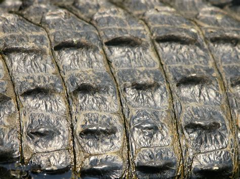 Alligator Skin by File Alligator Mississipiensis Skin Jpg Wikimedia Commons