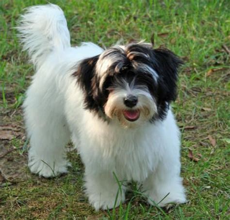 havanese hair they hair not fur and it is extremely soft and silky in layers designed