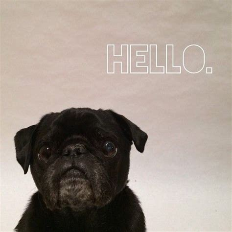 hello pug 17 best images about pugs and kisses on pug puppys and pug