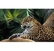 Wallpaper Of Animals Jaguar Lying On The Branch  Free