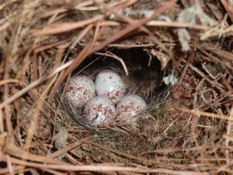 carolina wren nest hugging you goodbye