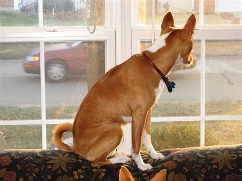 waiting for owner basenji breed is waiting for owner wallpapers and images wallpapers pictures