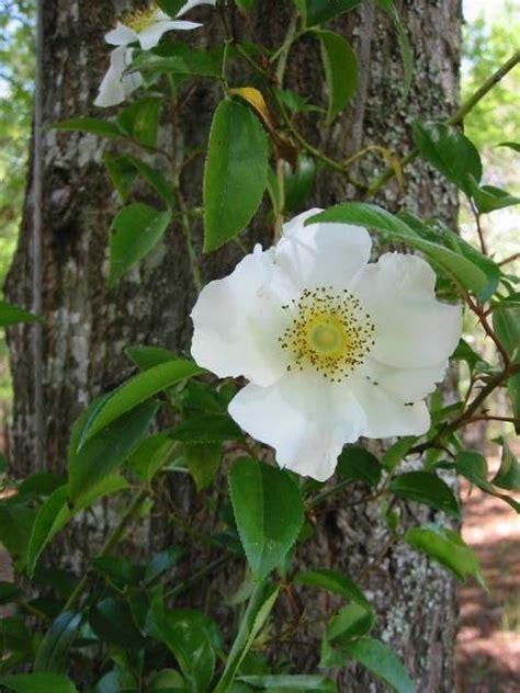 plantfiles pictures species wild rose camellia rose